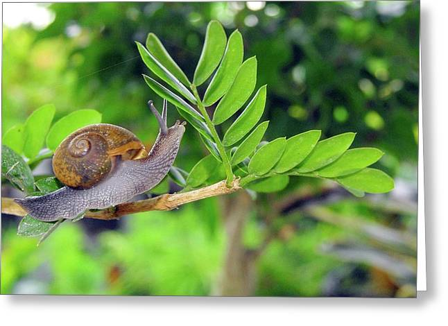 The Snail Greeting Card