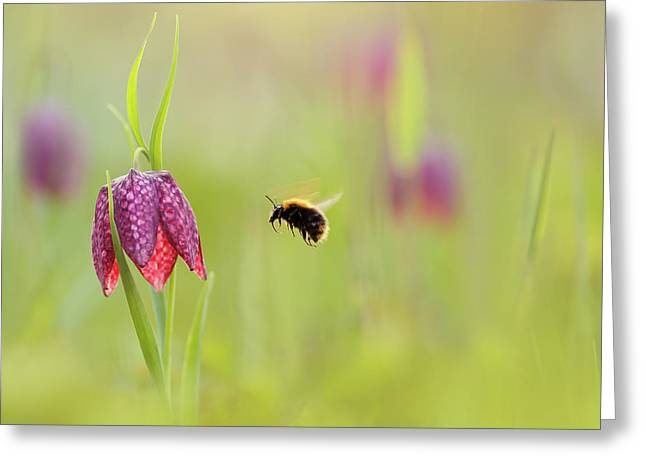 The Snake's Head And The Bumblebee - Fritillaria Meleagris Greeting Card