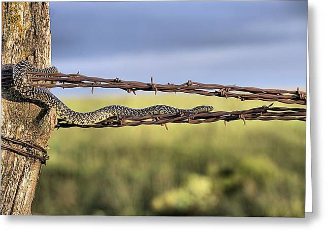 The Speckled Kingsnake  Greeting Card by JC Findley