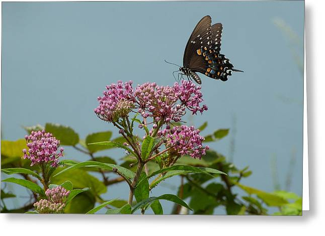 The Spicebush Swallowtail Of Prettyboy Reservoir Greeting Card by Donald C Morgan