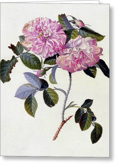 The Striped Monthly Rose Greeting Card by Georg Dionysius Ehret