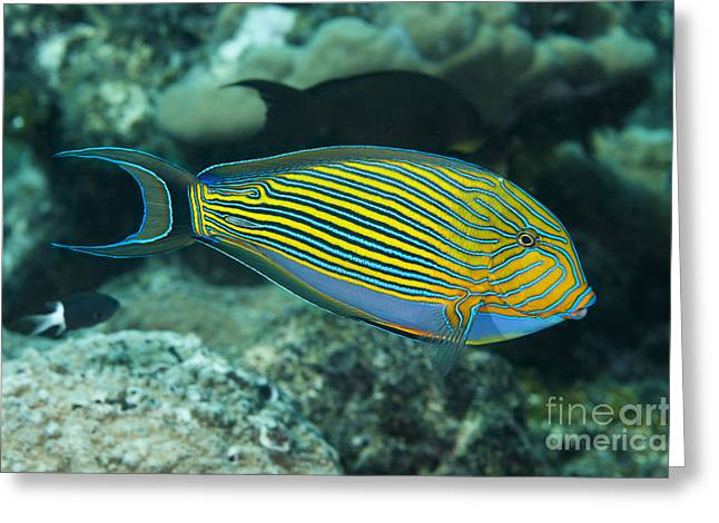 The Striped Surgeonfish  Acanthurus Greeting Card by Dave Fleetham