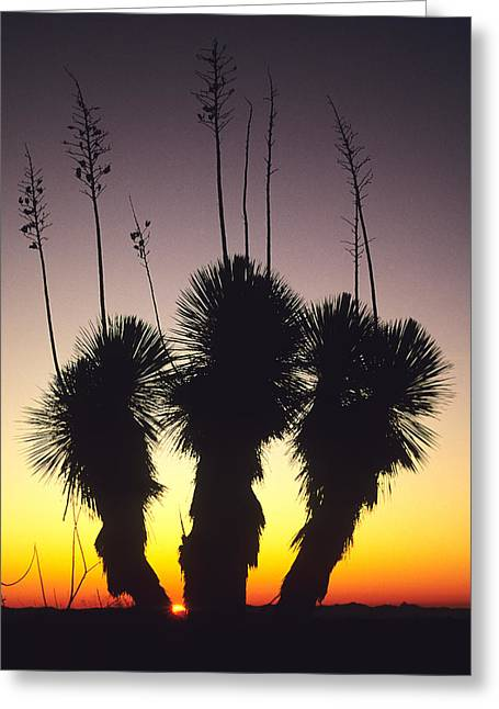 The Sun Sets Behind A Stand Of Yucca Greeting Card by Bill Hatcher