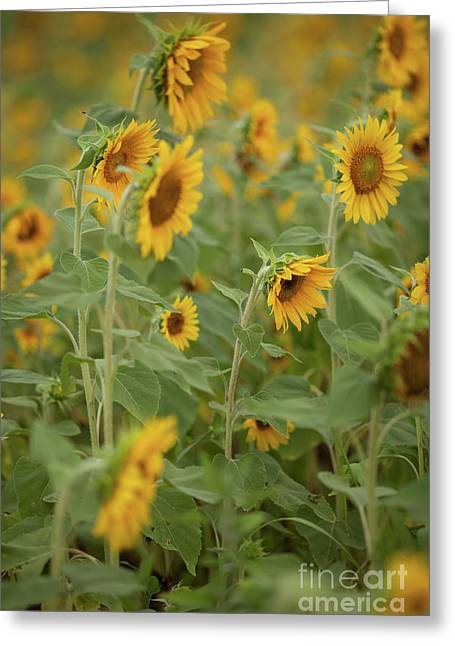 The Sunflower Patch Greeting Card