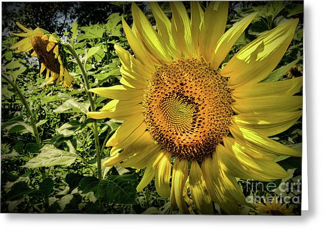 The Sunflower Greeting Card by Paul Ward