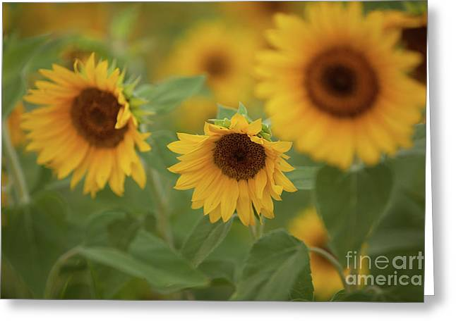 The Sunflowers In The Field Greeting Card