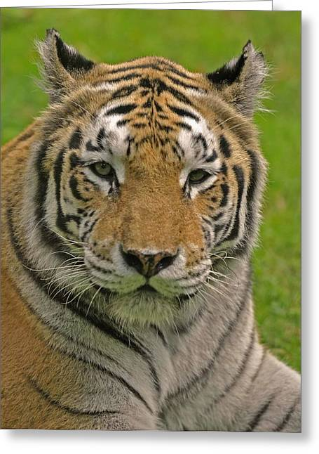 The Tiger's Stare Greeting Card