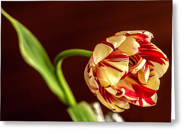 The Tulip's Bow Greeting Card