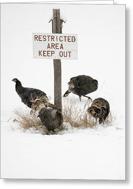 The Turkey Patrol Greeting Card