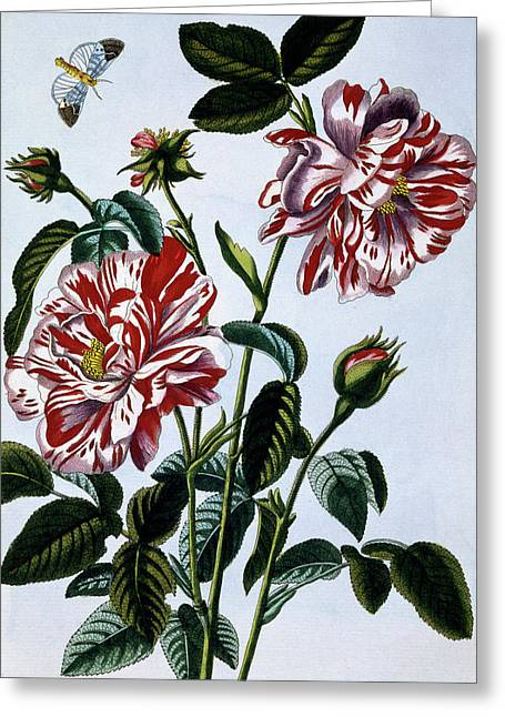 The Variegated Rose Of England Greeting Card by Pierre-Joseph Buchoz