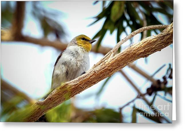 The Verdin Greeting Card by Robert Bales