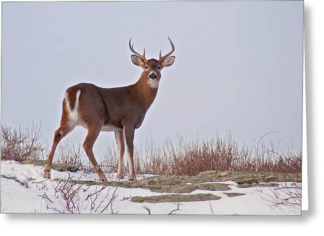The Watchful Deer Greeting Card