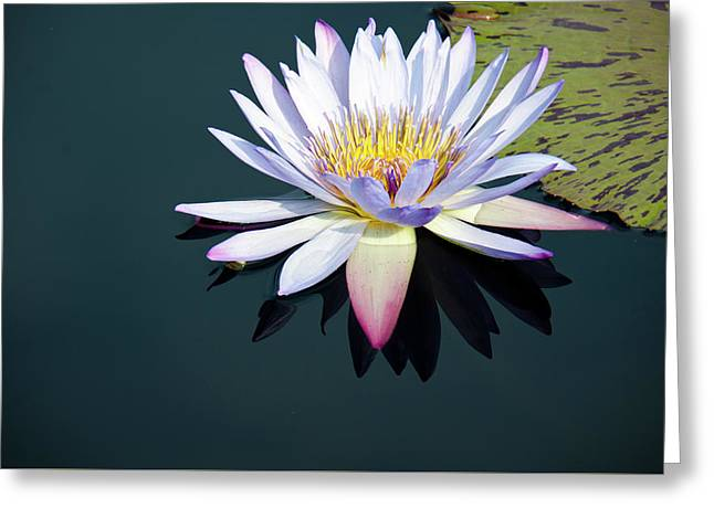 The Water Lily Greeting Card