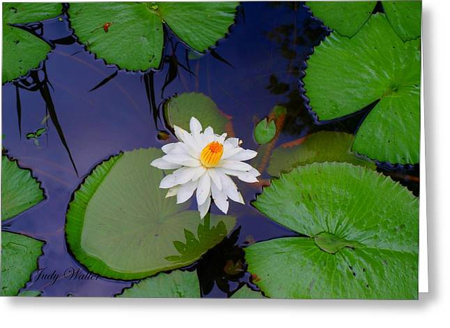 The Water Lily Greeting Card by Judy  Waller
