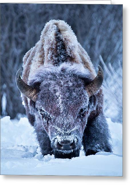 The Weary King // Yellowstone National Park  Greeting Card