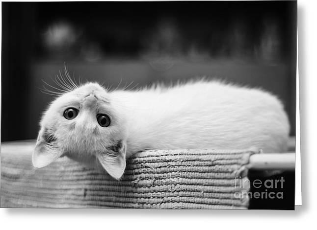 The White Kitten Greeting Card