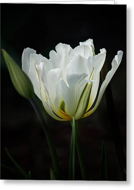 The White Tulip Greeting Card