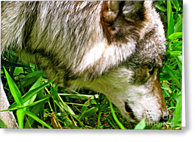 Greeting Card featuring the photograph The Wild Wolve Group A by Debra     Vatalaro
