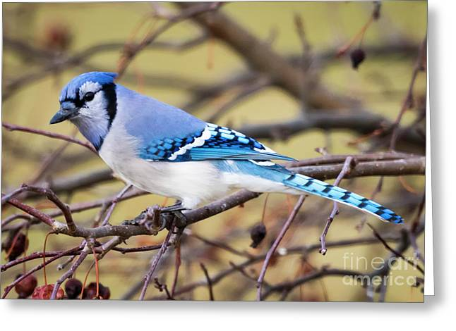 The Winter Blue Jay  Greeting Card