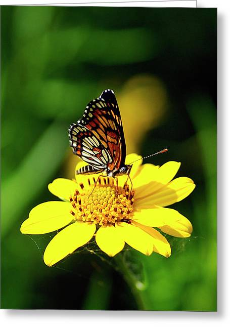 Theona Checkerspot Greeting Card