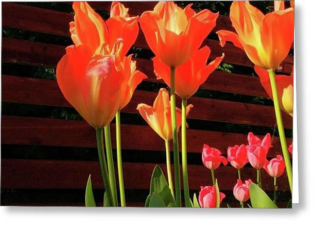 These Are #tulips From My Back Garden Greeting Card by Dante Harker