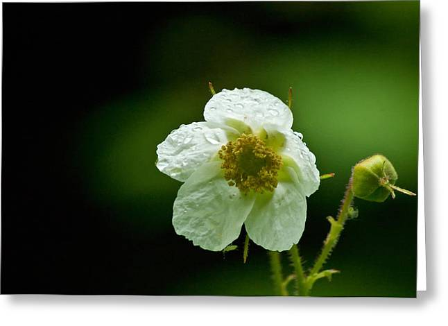 Thimbleberry Flower Greeting Card by R J Ruppenthal