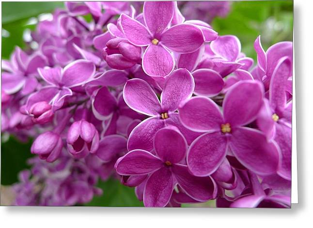 This Lilac Has Flowers With A White Edging. 5 Greeting Card by Regina Donetskaya