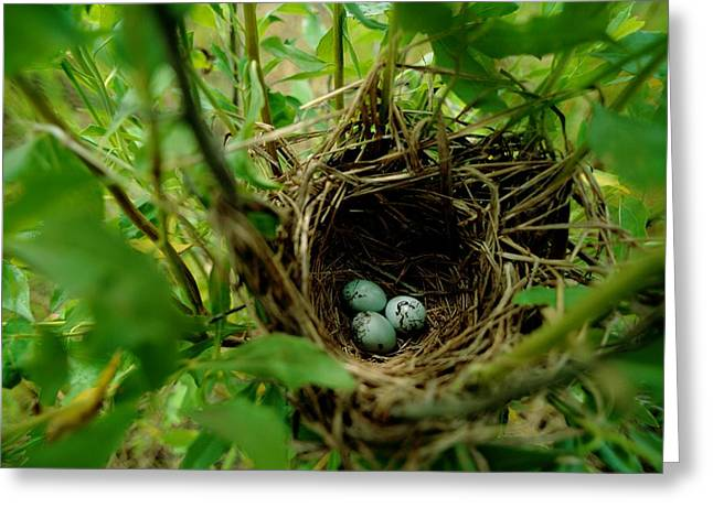 Refuges And Reserves Greeting Cards - This May Be The Nest And Aggs Greeting Card by James P. Blair