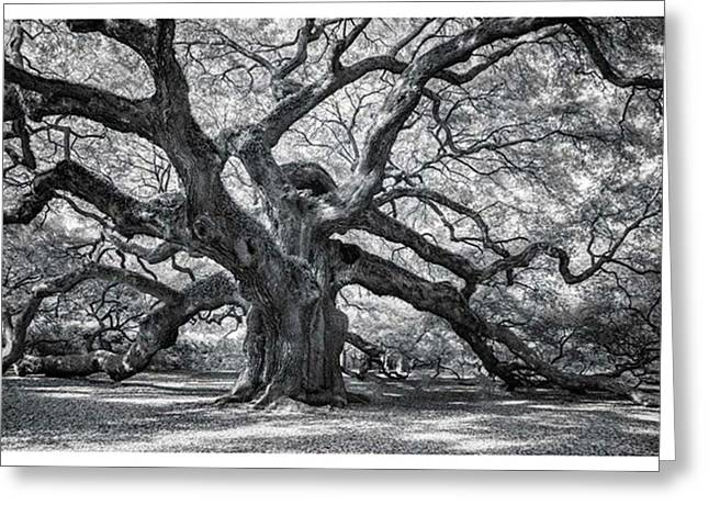 This Tree Is Located In Charleston Greeting Card