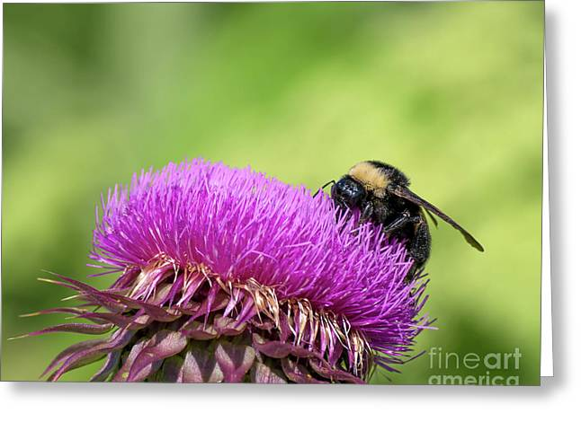 Thistle And Bee Greeting Card by Liz Masoner