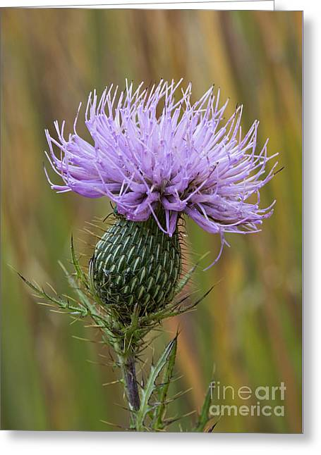 Thistle - D009631 Greeting Card by Daniel Dempster