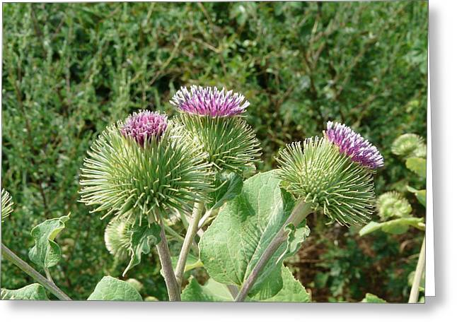 Greater Burdock Greeting Cards - Thistle Trinity Greeting Card by Valerie Ornstein