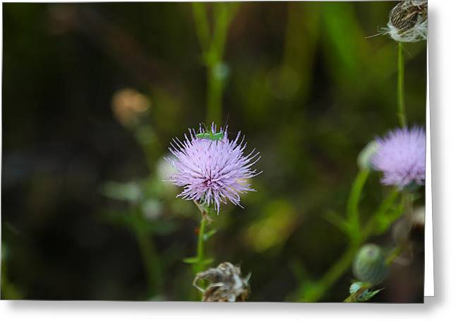 Thistles Morning Dew Greeting Card