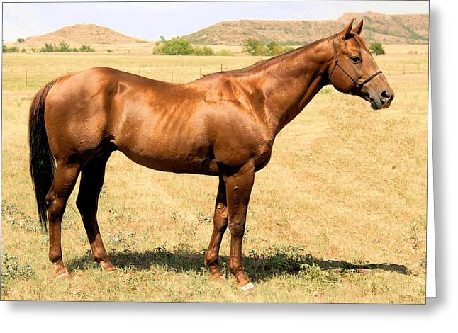 Thoroughbred From Right Side Greeting Card by Cheryl Poland