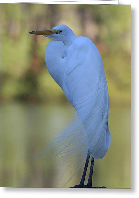 Thoughtful Heron Greeting Card by Kim Henderson