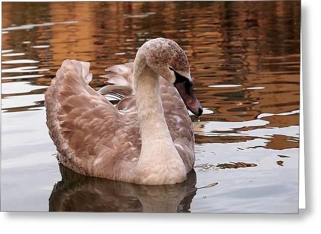 Thoughtful - Juvenile Mute Swan Greeting Card