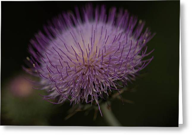Thoughts Of A Thistle Greeting Card