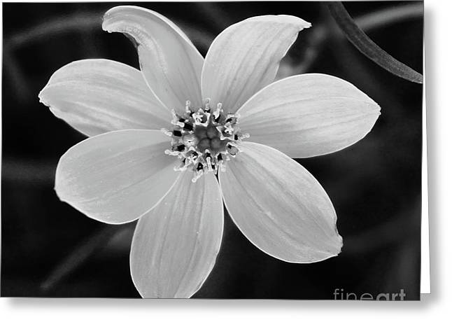 Threadleaf In Black And White Greeting Card