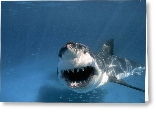 Neptune Greeting Cards - Threatened Great White Shark, Toothy Greeting Card by Paul Sutherland