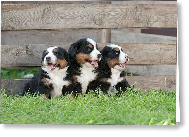 Three Bernese Mountain Dog Puppies Portrait