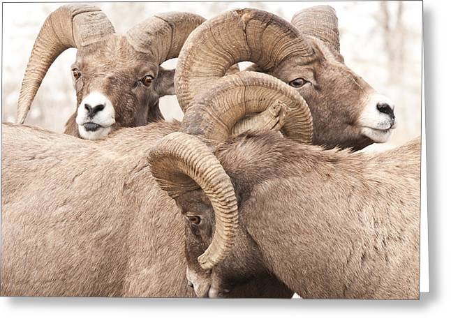 Three Bighorn Rams Greeting Card