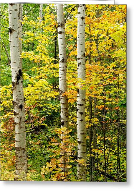 Three Birch Greeting Card by Michael Peychich