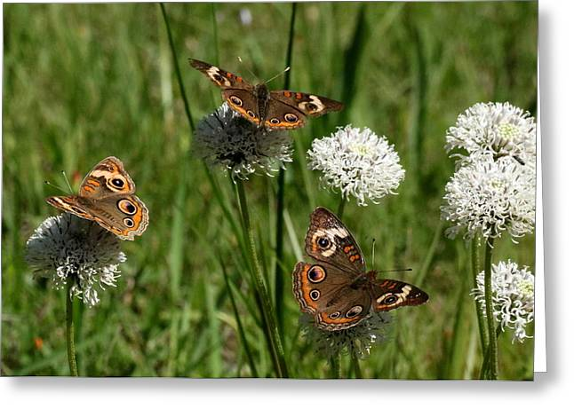 Three Buckeye Butterflies On Wildflowers Greeting Card