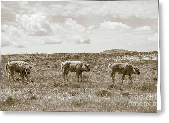 Greeting Card featuring the photograph Three Buffalo Calves by Rebecca Margraf