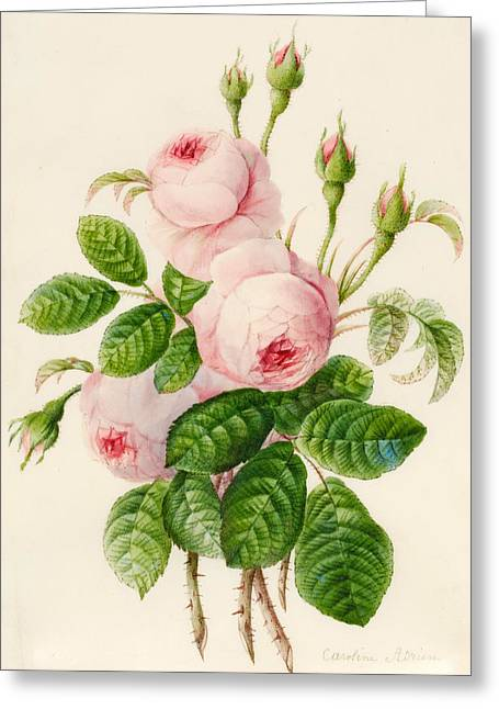 Three Centifolia Roses With Buds Greeting Card by Caroline Adrien