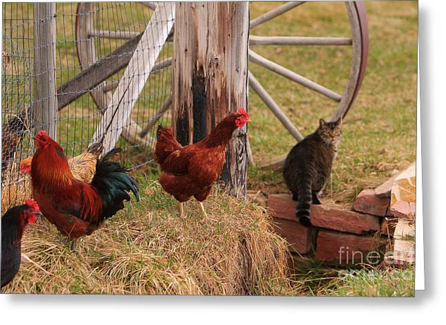 Three Chickens And A Cat Greeting Card