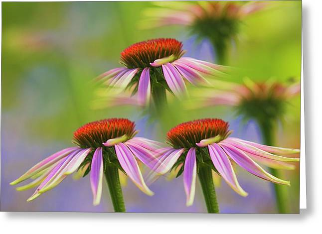 Three Coneflowers Greeting Card by Veikko Suikkanen