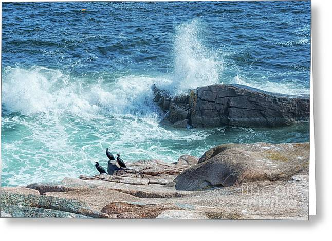Three Cormorants At Monument Cove, Acadia National Park Greeting Card