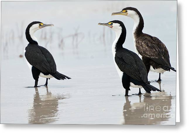 Three Cormorants Greeting Card by Werner Padarin