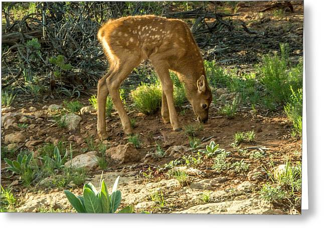 Three Day Old Fawn Greeting Card